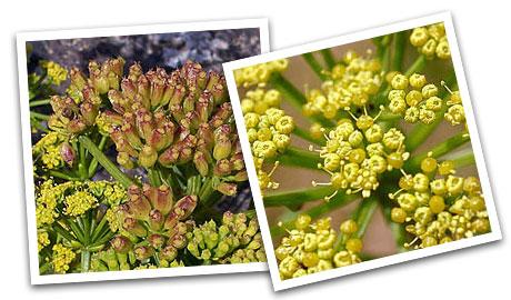 Imágenes de la flor de la lechuga de mar