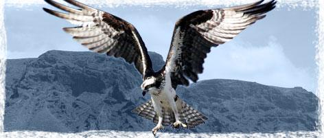 Guincho volando, con paisaje de Teno, en Tenerife, al fondo
