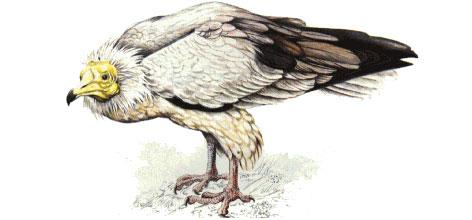 Ilustración de un guirre posado en tierra